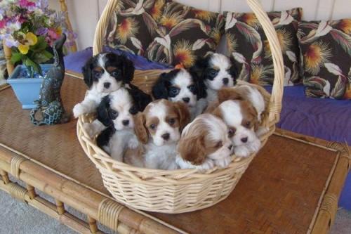 cavalier-king-cuccioli